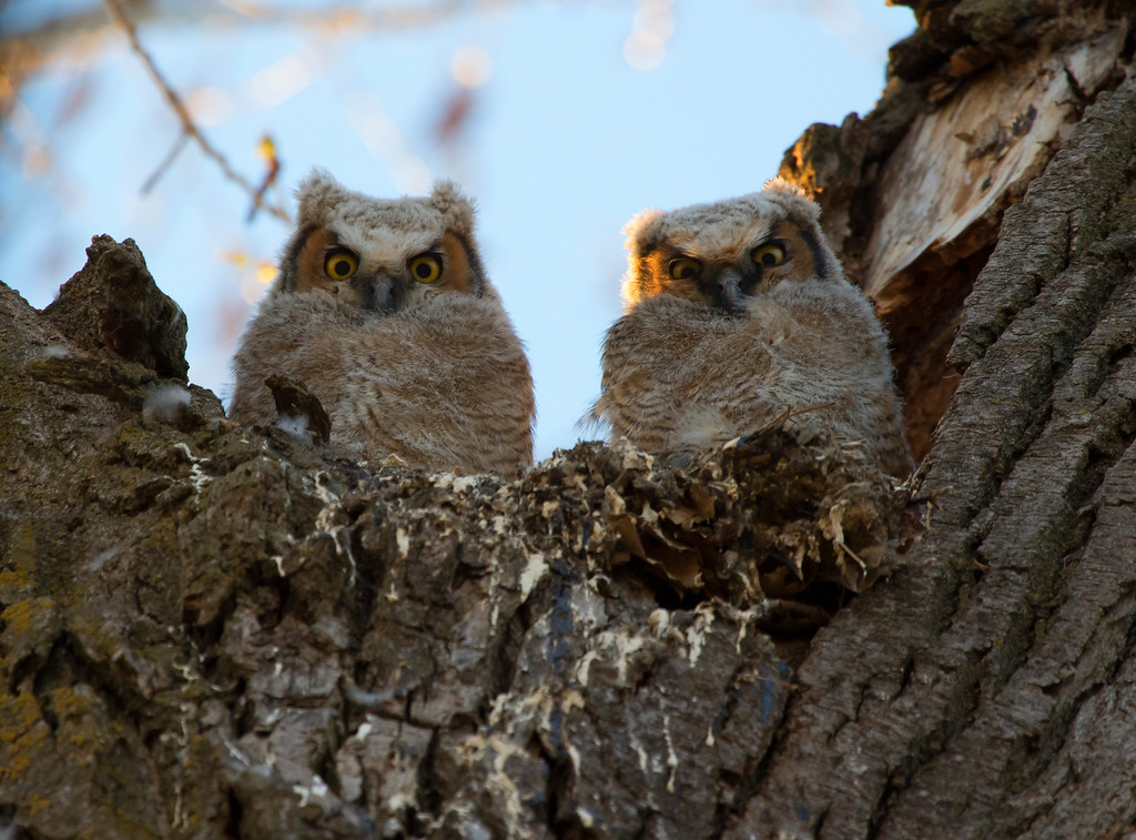 Great horned owlets 14 (2015)