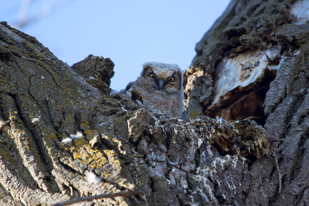 Great horned owlets 5 (2015)