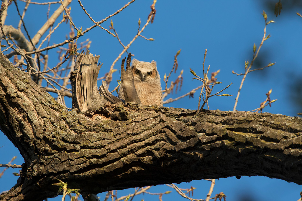 Great horned owlets 10 (2015)
