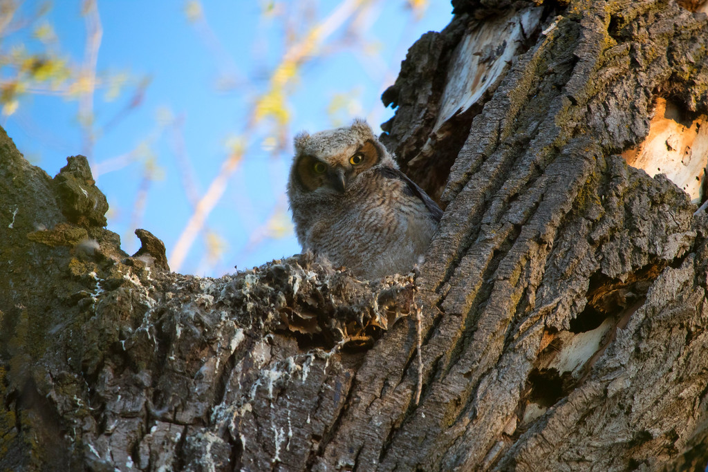 Great horned owlets 15 (2015)