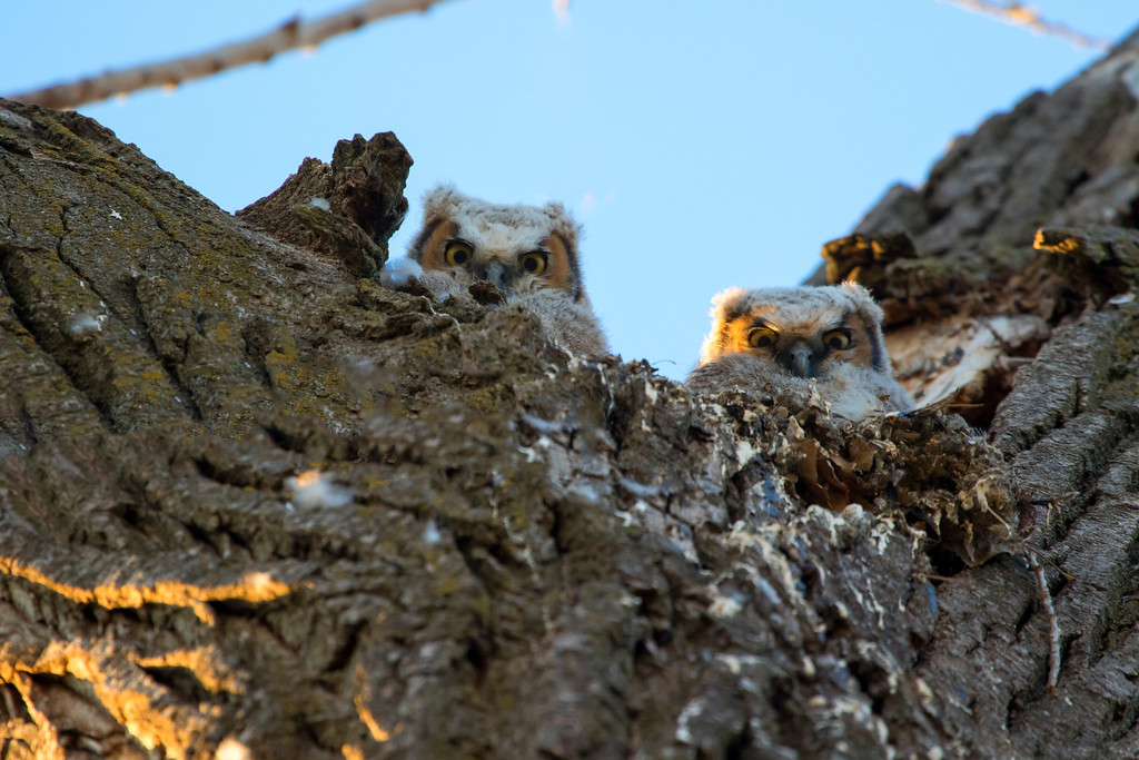 Great horned owlets 13 (2015)