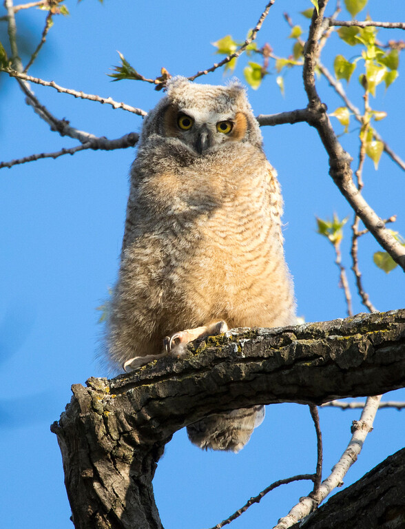 Great horned owlets 2 (2015)