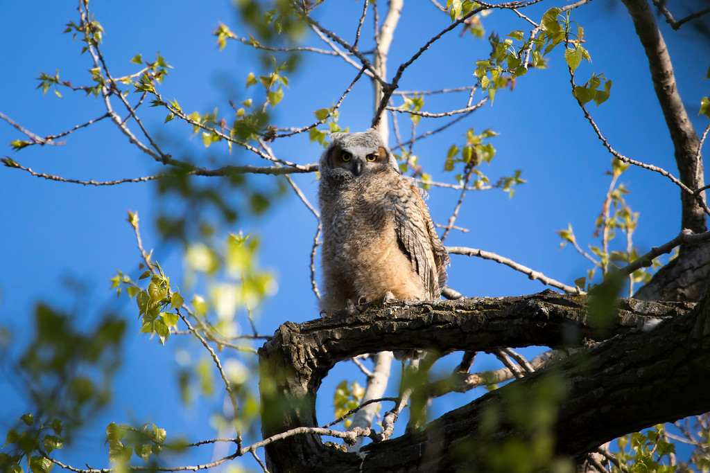 Great horned owlets 1 (2015)
