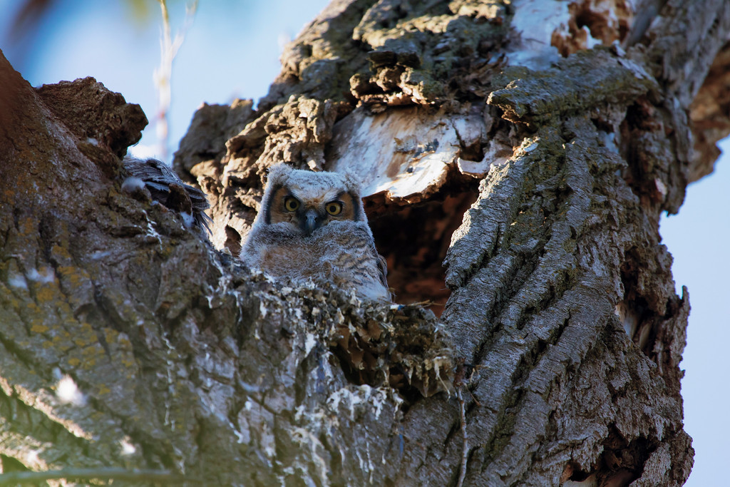 Great horned owlets 7 (2015)