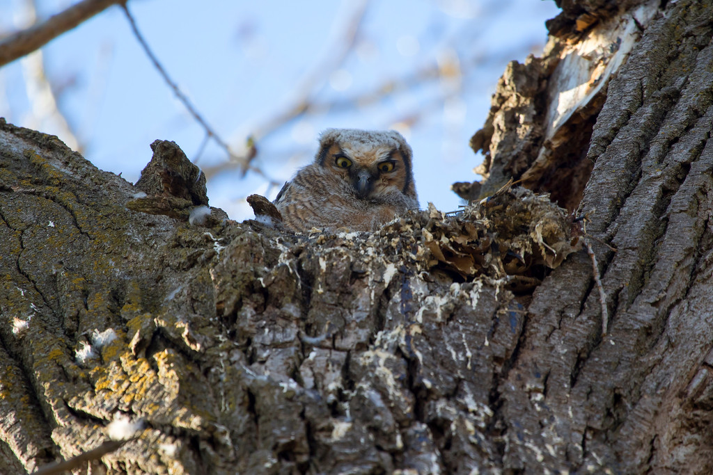 Great horned owlets 6 (2015)