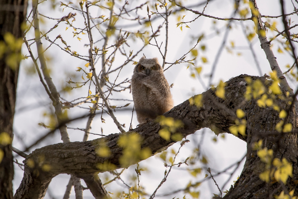 Great horned owlets 18 (2015)