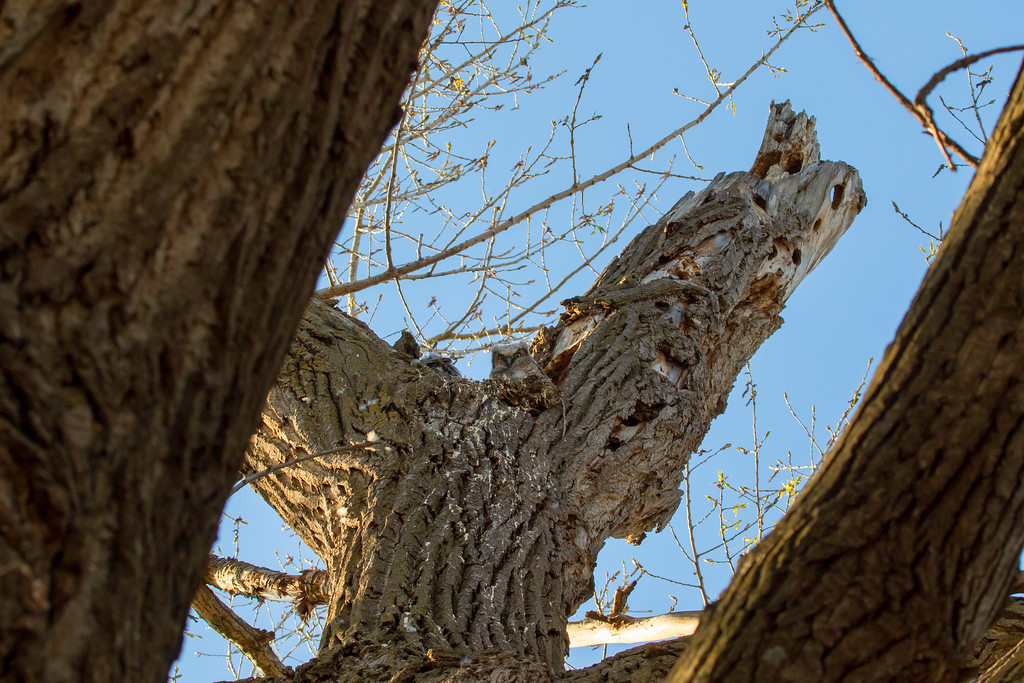 Great horned owlets 9 (2015)