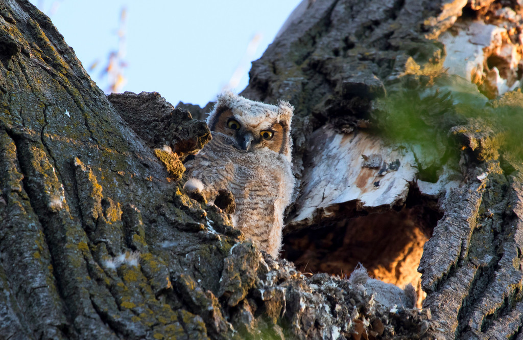 Great horned owlets 12 (2015)