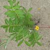 Silverweed-Coastal Plant
