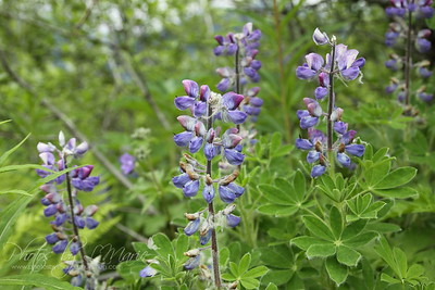 Mountain Lupine