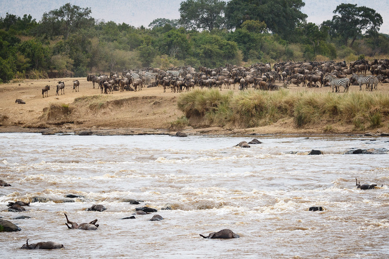 Not all of the wildebeest made it across the Mara R. due to  <br /> broken legs, broken backs, crocs, and drowning.