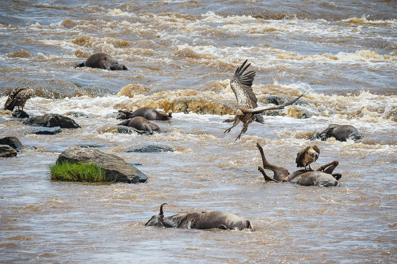 Not all of the wildebeest made it across the Mara R. due to  <br /> broken legs, broken backs, crocs, and drowning..