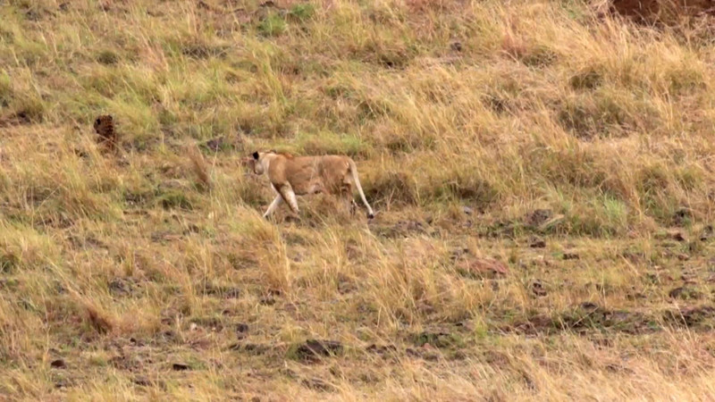 Lioness stalking leopard - 30s