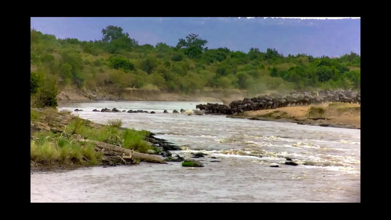 Wildebeests and zebras crossing the Mara River - 3m 13s