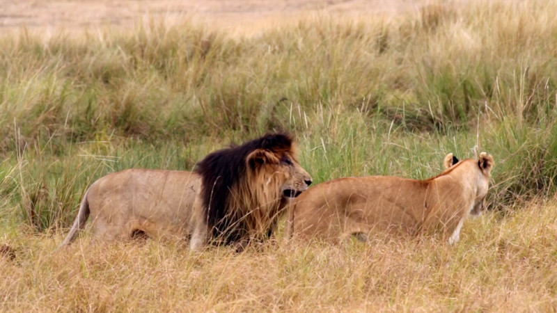 Male and female lion - 44s