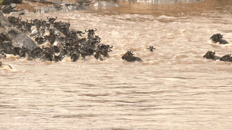 Wildebeest crossing the Mara River - 23s