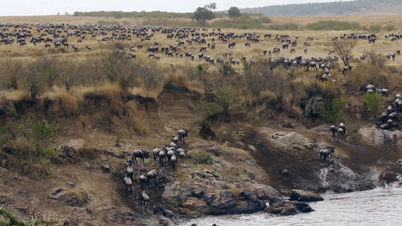 View of wildebeest finishing their crossing - 8s