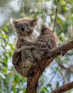 Koala mum and baby hanging out at Cape Otway