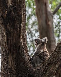 Cape Otway, Koala Yawning