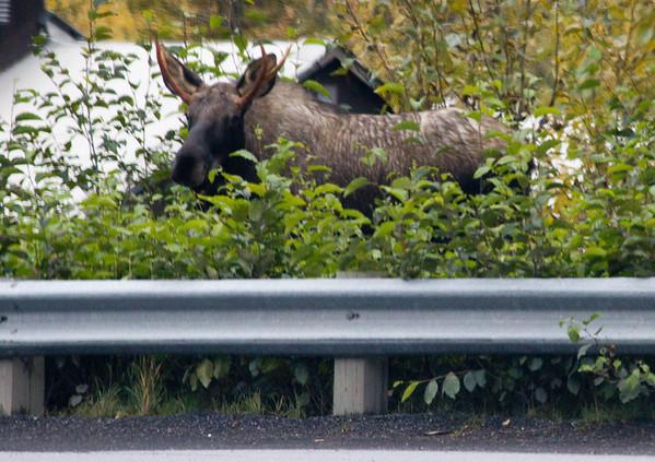 Immature moose, Seward.
