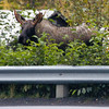 Immature moose, Seward.