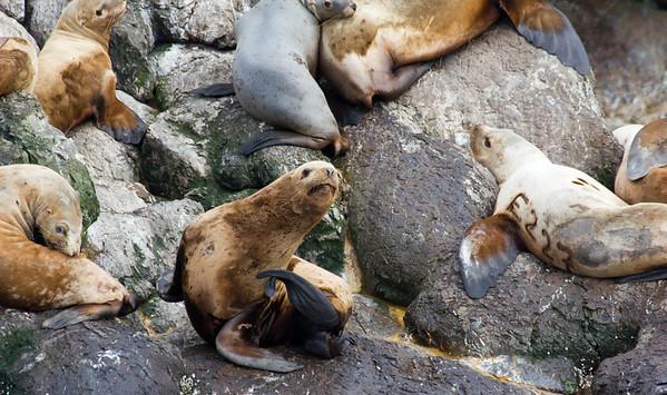 Steller sea lions, Resurrection Bay, Seward.
