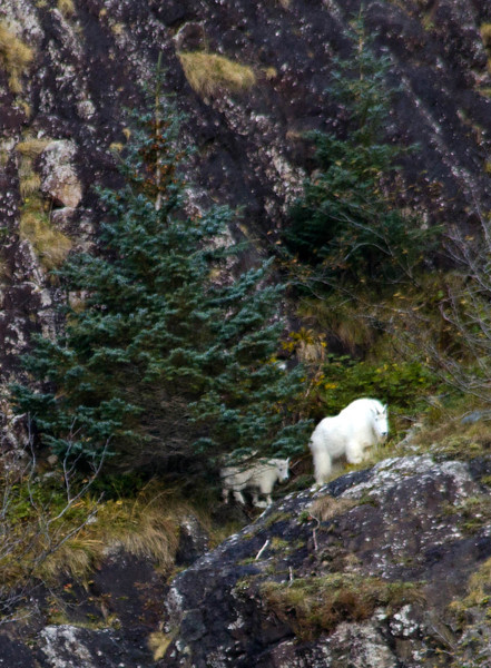 Mountain goat with kid, Resurrection Bay, Seward.