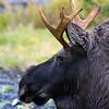 Immature moose.
