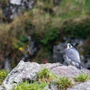 Peregrine falcon, Resurrection Bay, Seward.