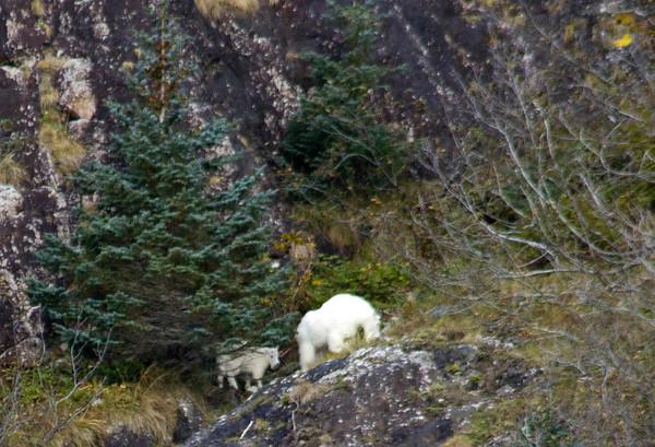 Mountain goat with kid, Resurrection Bay, Seward.