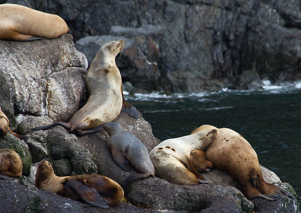 Steller sea lions, Resurrection Bay, Seward.