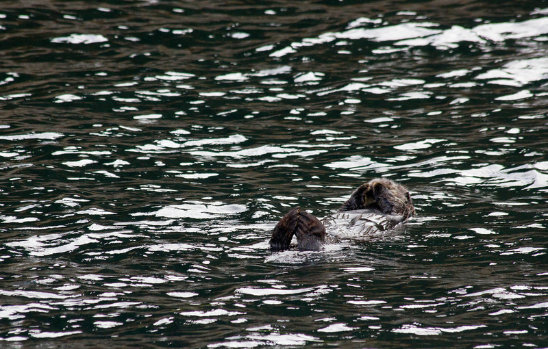 Sea otter sleeping, Resurrection Bay, Seward.