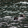 Sea otter sleeping, Resurrection Bay, Seward.