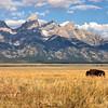 Where the buffalo roam...