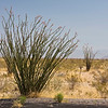 Ocotillo in Arizona desert.