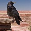 Raven in the Painted Desert. Ravens replaced buzzards as the scavenger bird in Arizona and New Mexico.