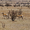 Pronghorns in New Mexico