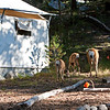 The first morning, at Tualumne Meadows Lodge, a family of mule deer wandered into camp