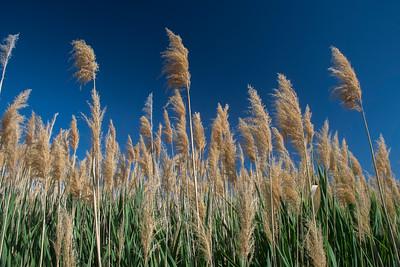 Phragmite Reeds