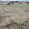 Grasses with Dunes