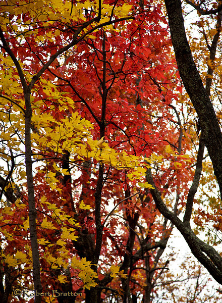 Red & Yellow Fall Leaves