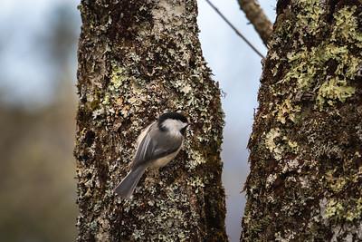 black-capped chickadee on a mossy tree