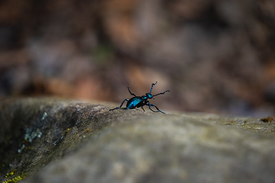little blue-black beetle climbing down a rock