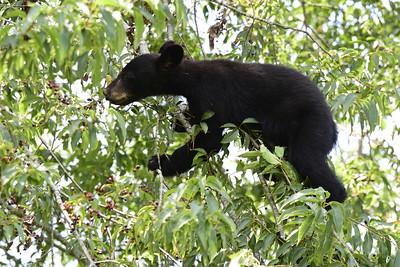 Black Bear Cub in a Cherry Tree