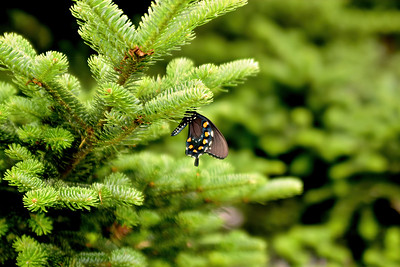 Butterfly - Mt. Mitchel