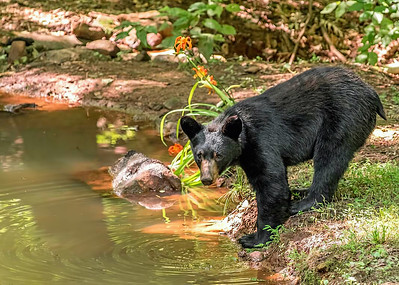 Black Bear - Time for a drink