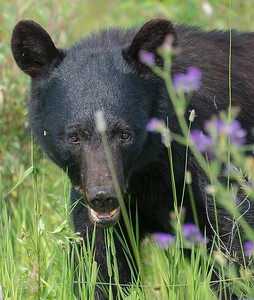 Black Bear out in the meadow