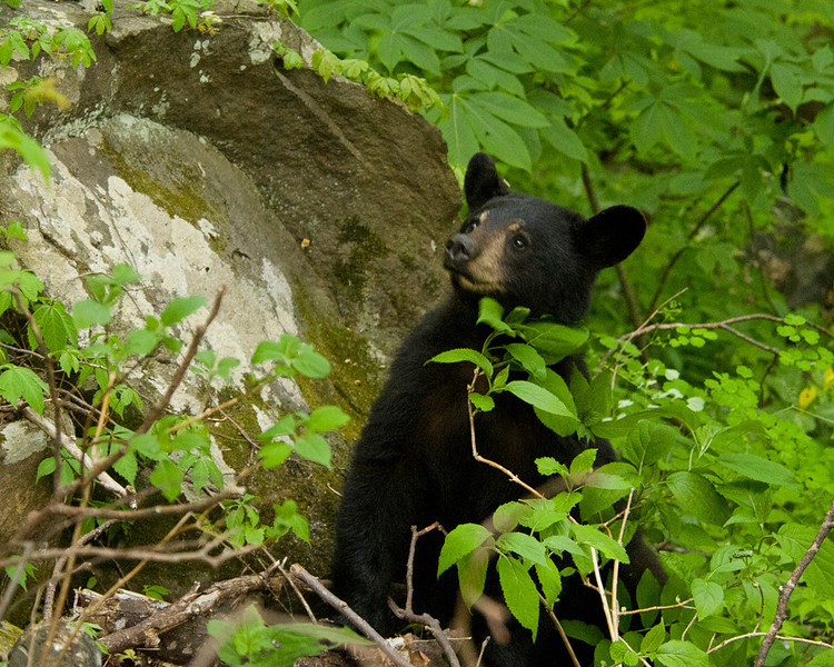 Black Bear Cub - Great Smoky Mountains National Park - John Remy - April 2012