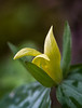 Yellow Trillium Blossom