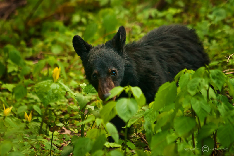 Black Bear Cub - Great Smoky Mountains National Park - Marty Farwell - April 2010